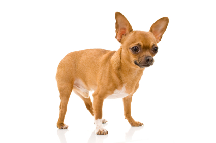short coat chihuahua chihuahua short coat coat nj 5052